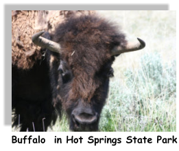 Buffalo  in Hot Springs State Park