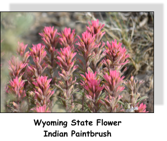 Wyoming State Flower Indian Paintbrush